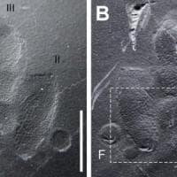 In Corea trovate le prime impronte della pelle di dinosauro
