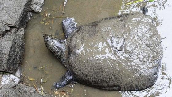 Nicaragua, le tartarughe non nidificano più. Dalla Cina alle Maldive, sempre più specie a rischio