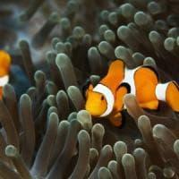 Il pesce Nemo ci aiuterà a capire i meccanismi dell'invecchiamento