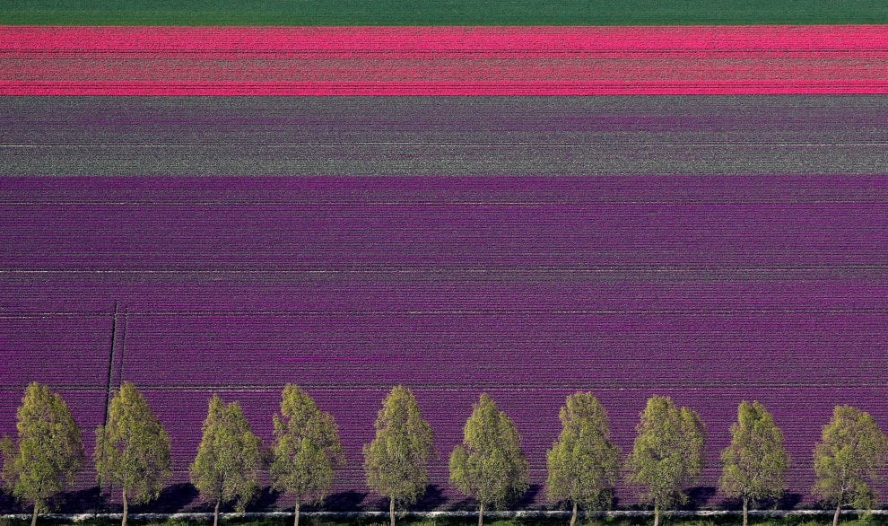 I campi di tulipani come un'opera d'arte: l'Olanda è una tavolozza di colori