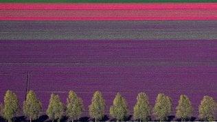 I campi di tulipani come un'opera d'arte: Olanda, tavolozza di colori