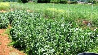 Sesto Fiorentino, bimbo allergico alle fave. Ordinanza del sindaco: vietato coltivarle