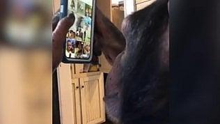 Scimpanzé rapito da Instagram:usa i social come un teenager