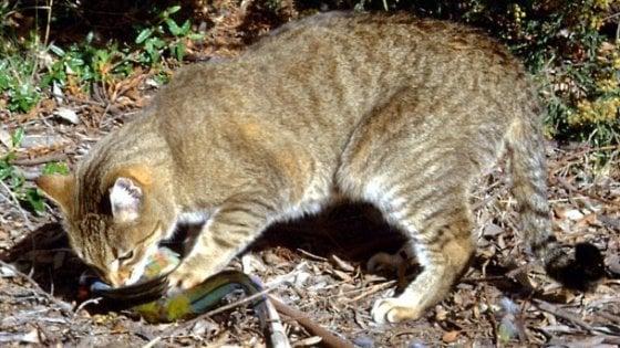Australia è Guerra Ai Gatti Selvatici Sono Troppi E Minacciano