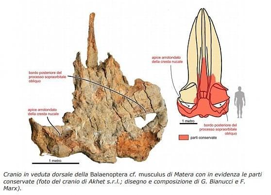 Giuliana, la balena di Matera, riscrive la storia dei giganti del mare