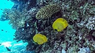 Mar Rosso: reef a rischio -   ft