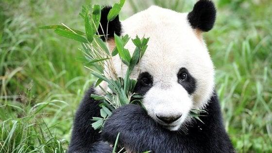 Avvistato un panda gigante selvatico nella riserva di Mianzhu, in Cina