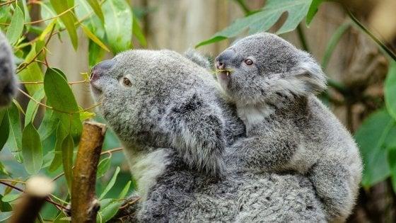 """Australia: salviamo il koala. """"Non c'è più tempo: è funzionalmente estinto"""""""