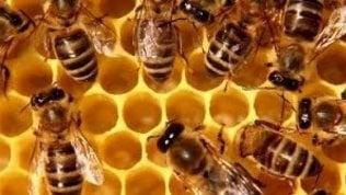 Le api mangiano il miele per sopravvivere a questa pazza primavera: allarme per la raccolta