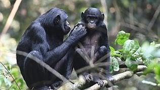 """""""Quando me lo fai un nipotino?"""". Così le femmine di bonobo incitano i figli a metter su famiglia"""