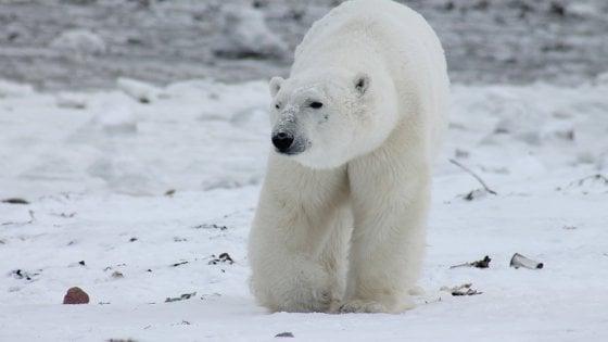 Artico: orsi bianchi in aumento, secondo ricercatori russi