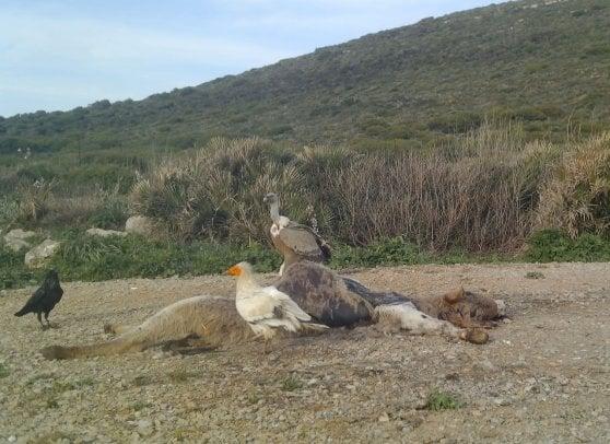 Sardegna, si proteggono i grifoni e arrivano anche i capovaccai