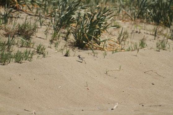 La migrazione, il nido e la 'famiglia allargata': ecco perché il fratino è specie a rischio
