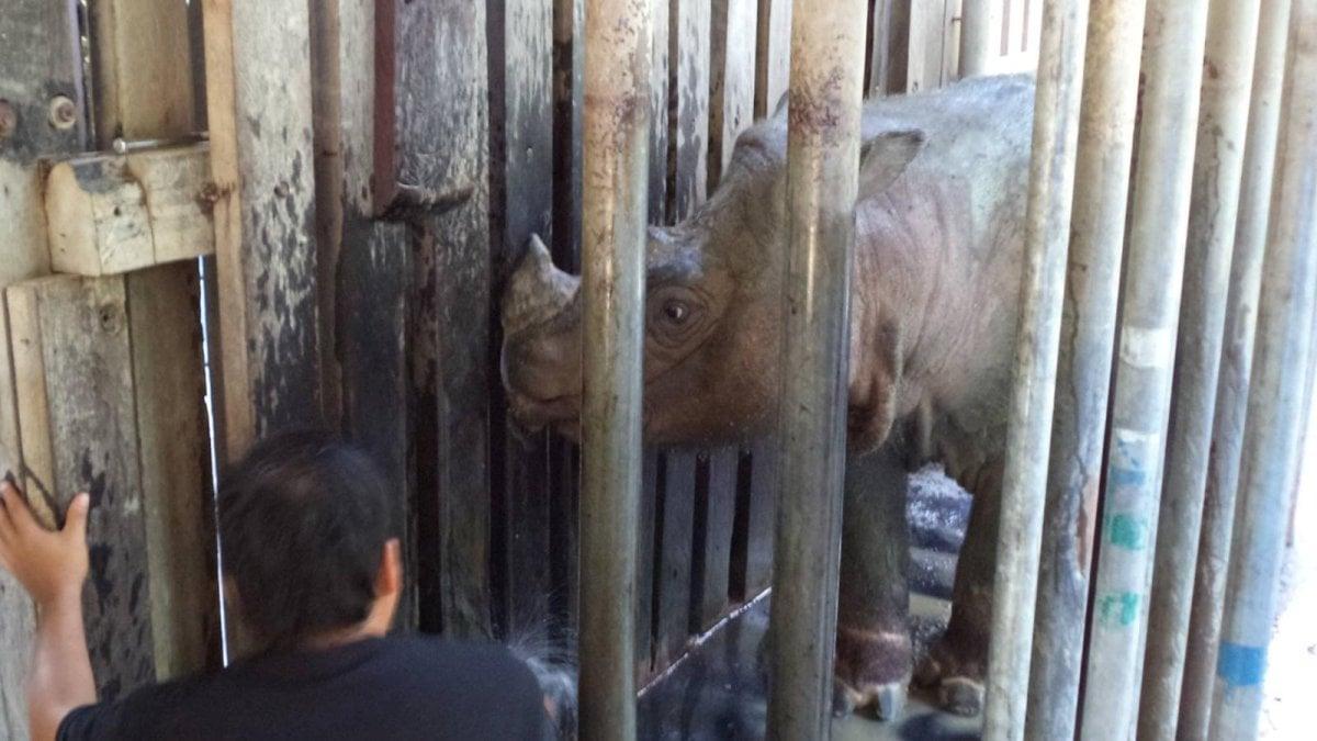 Morto l'ultimo rinoceronte di Sumatra maschio in Malaysia