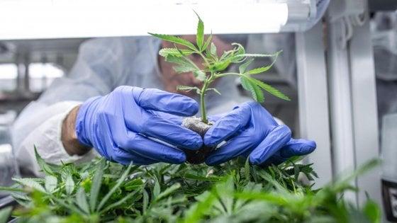 Dopo lo stop della Cassazione alla cannabis light, ecco cosa cambia