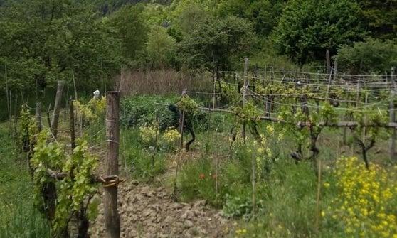 Tra terremoti, vigne e storie contadine: ecco il Pecorino, gigante ritrovato