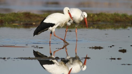 """Cicogna day, lo spettacolo della nidificazione per tutti. Lipu: """"Ma nel rispetto della natura"""""""