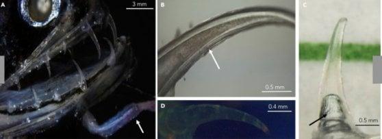 Il segreto del dragonfish: scoperta la struttura del morso letale