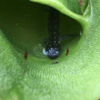 In Canada la pianta carnivora che mangia salamandre