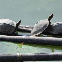 India. Nella città sacra indù tempio millenario ha salvato tartaruga dall'estinzione