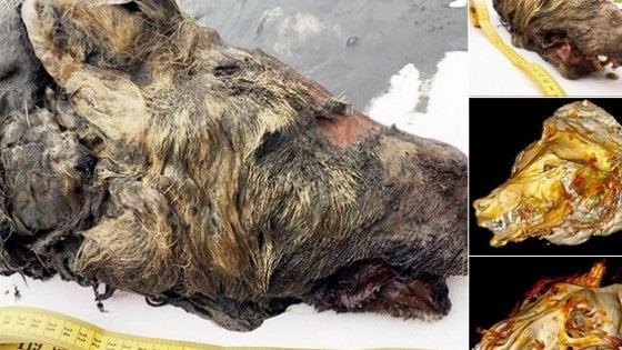 Siberia, trovata la testa di un lupo dell'era glaciale