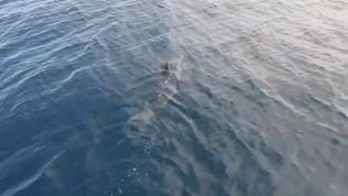 Un grande squalo mako avvistato dalla barca di turisti nell'Adriatico