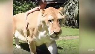 A spasso con Apollo, il ligre: è il felino più grande del mondo