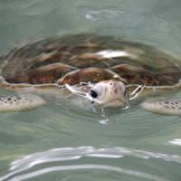 Giornata mondiale delle tartarughe, ancora minacciate ma ne muoiono meno