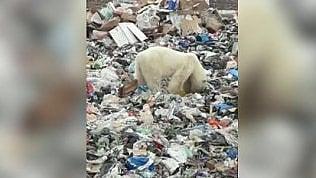 Orso polare stremato avvistato in città: cerca il cibo tra i rifiuti