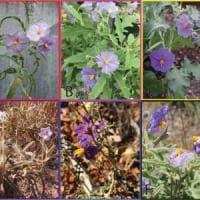 """Ecco il Solanum plastisexum, il """"pomodoro gender fluid"""""""
