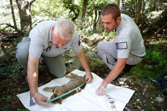 """Corsica, ecco il """"gatto-volpe"""": potrebbe essere una nuova specie"""