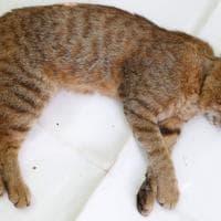"""""""Il gatto-volpe esiste e vive in Corsica"""""""