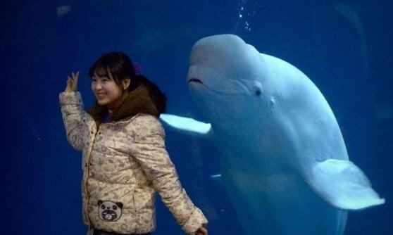 Little White e Little Grey, dall'acquapark cinese alla libertà nei mari d'Islanda