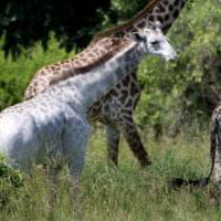 La silenziosa estinzione delle giraffe, sono circa 68 mila quelle libere in natura