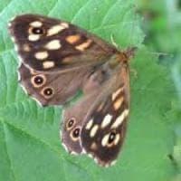 Via i ratti, a Montecristo tornano le farfalle