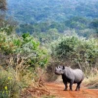 Dall'Europa al Ruanda, 5 rinoceronti tornano in libertà