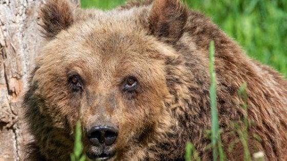 Parco Nazionale d'Abruzzo, è morta l'orsa Yoga: aveva 30 anni