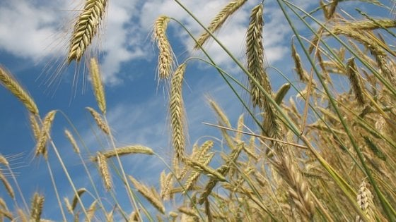 Agricoltura, in 10 anni scomparso un campo di grano su cinque