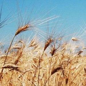 Cdp-Sace, finanziamenti per 35 milioni per i grani pugliesi del Molino Casillo