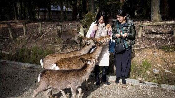 """Giappone, i cervi sacri uccisi dalla plastica. L'appello ai turisti: """"Non date da mangiare snack agli animali"""""""