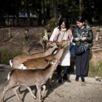 """Giappone, i cervi sacri uccisi dalla plastica. L'appello ai turisti: """"Non date da..."""