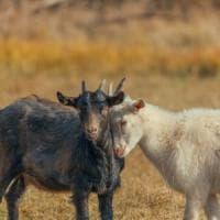 Altro che ignoranti, le capre riconoscono le emozioni