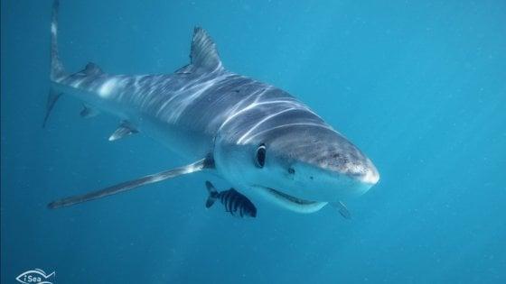 """Nei nostri mari 20 specie in grave pericolo. """"Gli squali in realtà siamo noi"""""""
