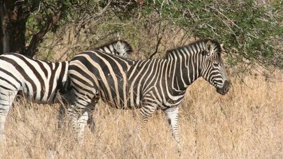 Così le strisce delle zebre aiutano gli animali a raffreddarsi