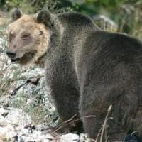M49 catturato e rinchiuso in un recinto, ma l'orso trentino riesce a scappare