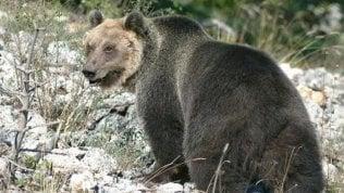 """Catturato, l'orso M49 scavalca muro elettrificato e scappa. Costa alla Provincia: """"Non gli sparate"""""""
