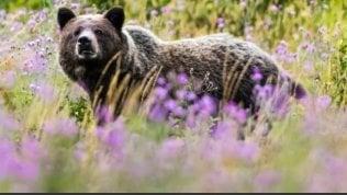 In Italia vivono 100 orsi: le 5 cose da non fare se ne incontrate uno
