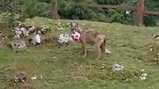 Sono tornati i lupi: uno si avvicina al rifugio e gioca con un pallone