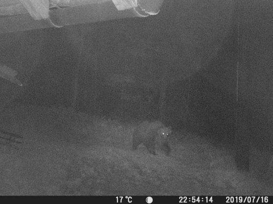 """""""Ecco M49, fotografato sul monte Marzola"""". La Consulta: legittime le leggi su cattura e abbattimento di orsi e lupi"""