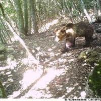 """""""Il parco d'Abruzzo adotti l'orso M49"""""""